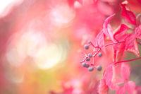 Red autumn ivy