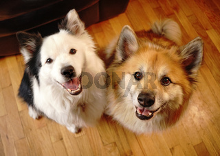 Two Canine Dog Companions Look at the Camera
