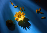 Yellow petals and a flower on a dark blue background with reflection of shadows. Flat lay