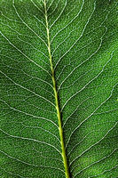 Macro photo dark green natural background with leaf with a pattern of veins. Layout foliage. Flat lay