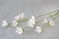 Weiße Glockenblume (Campanula) liegend auf texturiertem Hintergrund