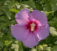 Hibiskus 'Hibiscus genus'