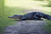 American alligator poops on a trail