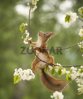 red squirrel is climbing up on an branch