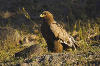 Steppe eagle, Aquila nipalensis. Saswad, Maharashtra, India