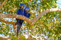Hyacinth Macaw, Anodorhynchus Hyacinthinus, or Hyacinthine Macaw, Pantanal, Mato Grosso do Sul, Brazil