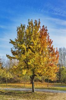 Esche im Herbst | ash tree in autumn