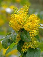 Yellow Mahonia flower blossoms