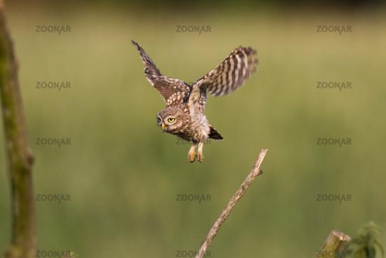 Fliegender Kauz