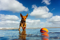 Little dog at the beach playing with a ball in the water