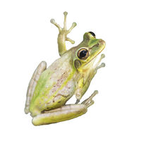 Tree Frog watercolor on white background