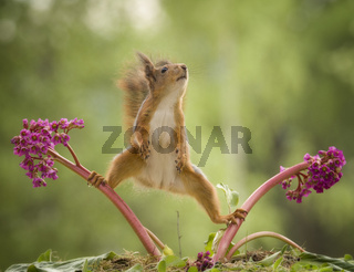 red squirrel in a split between Bergenia