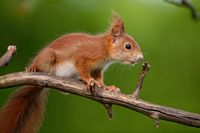 Junges Eichhörnchen