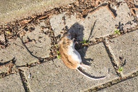 Dead mouse on the sidewalk. Selective focus
