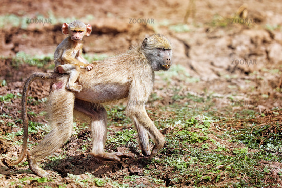 Steppenpaviane, South Luangwa Nationalpark, Sambia, (papio cynocephalus) | baboon, South Luangwa National Park, Zambia, (papio cynocephalus)