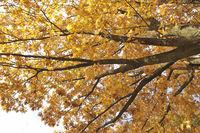 Rot-Eiche, Quercus rubra, red oak
