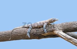 Komodo dragon on a tree trunk