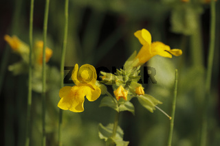 Gelbe Gauklerblume (Mimulus guttatus)