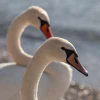 Two Swans Closeup