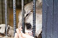 Human hand petting big cat through fence