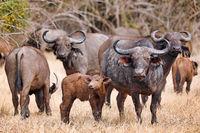 Afrikanische Bueffel mit Jungtier, South Luangwa Nationalpark, Sambia, (Syncerus caffer) | african buffalos with a young one, South Luangwa National Park, Zambia, (Syncerus caffer)