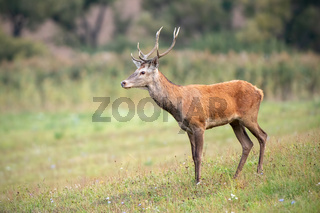 Young red deer stag in summer on a meadow with short green grass.