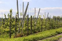 Spalierobst Plantage am Bodensee, Mai