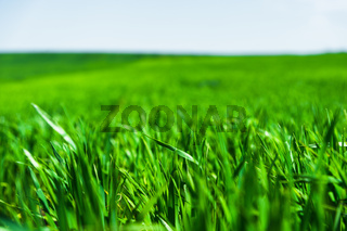 Image of a landscape of a green grass or wheat field and a blue sky with patterns from the clouds. The concept of serenity of ecology and spring