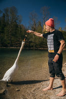 Man feeds a large white swan on the shore.