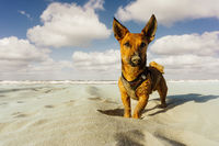 Little cute dog with sandy nose standing on the beach