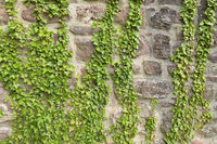 Ivy on castle wall