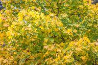 Magnificent maple in autumn