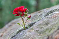 Red rose grows in a crevice