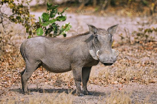 Warzenschwein, South Luangwa Nationalpark, Sambia, (Phacochoerus africanus), | Warthog, South Luangwa National Park, Zambia, (Phacochoerus africanus)