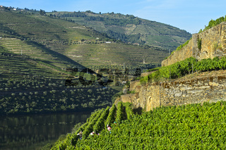 Terrassenförmige Weinberge an den steilen Abhängen des Höllen-Tals, Pinhao, Douro Tal, Portugal