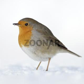 standhaft... Rotkehlchen * Erithacus rubecula * im Schnee