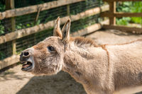 Large furry donkey shouting loudly