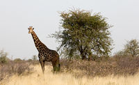 Adult giraffe in Namibia