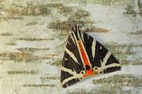 Russischer Baer (Euplagia quadripunctaria)