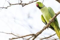 Rose-ringed Parakeet, Dubai, United Arab Emirates (UAE), Middle East