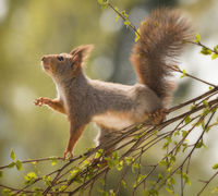 red squirrel stand and reach on birch branches