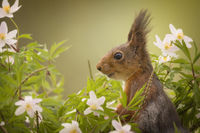 red squirrel is standing between wood anemone