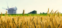 Panorama windmill of Agriculture Wheat crop field summer landscape
