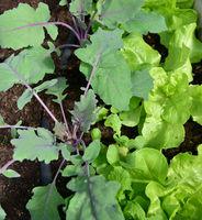Salat im Gewächshaus mit Tropfschlauch