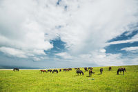 A herd of horses on a green pasture with yellow flowers against a blue sky with clouds