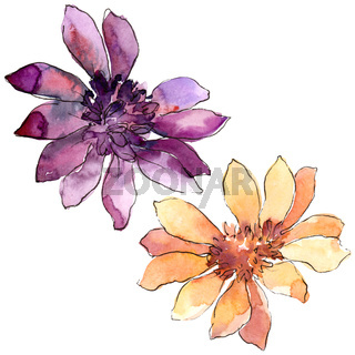 Colorful african daisy. Floral botanical flower. Isolated illustration element.