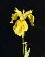 Sumpfschwertlilie, Iris, pseudacorus