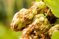 Humulus lupulus, or climbing is found in the wild in the temperate zone of both hemispheres in damp thickets.