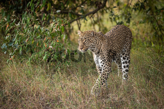 Leopard walks through trees in long grass