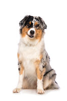 Australian shepherd dog sitting on white background